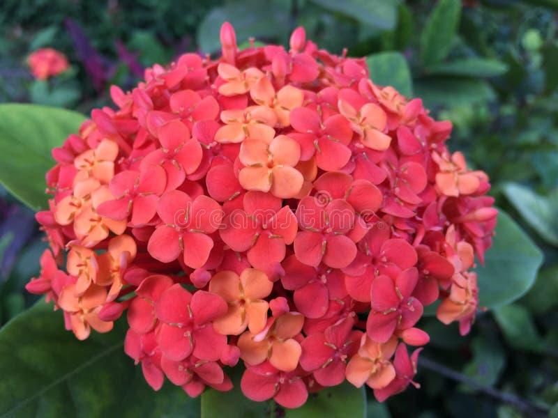 Grand hortensia rouge photos stock