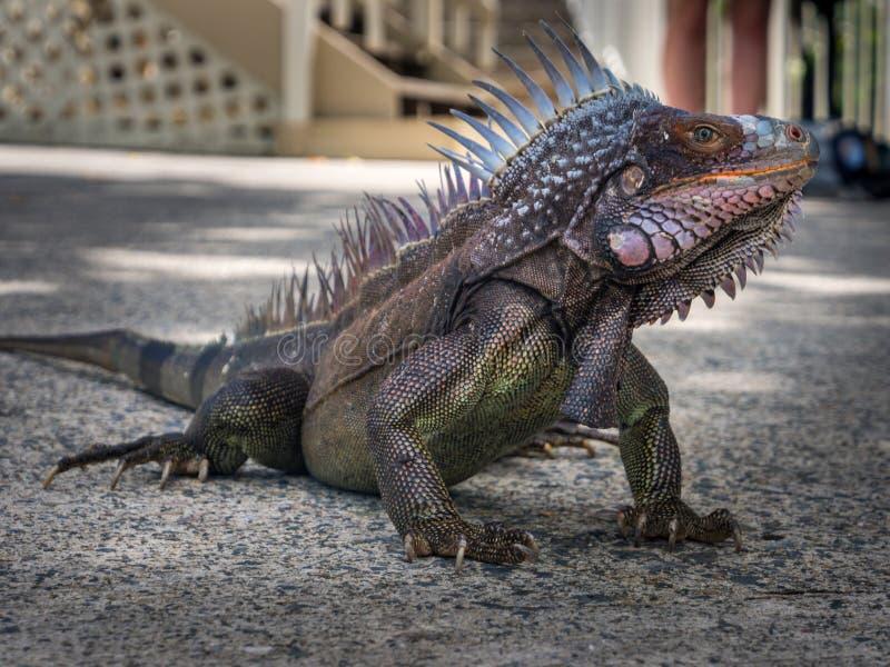 Grand iguane sur la terre concrète, en épi et coloré photo stock