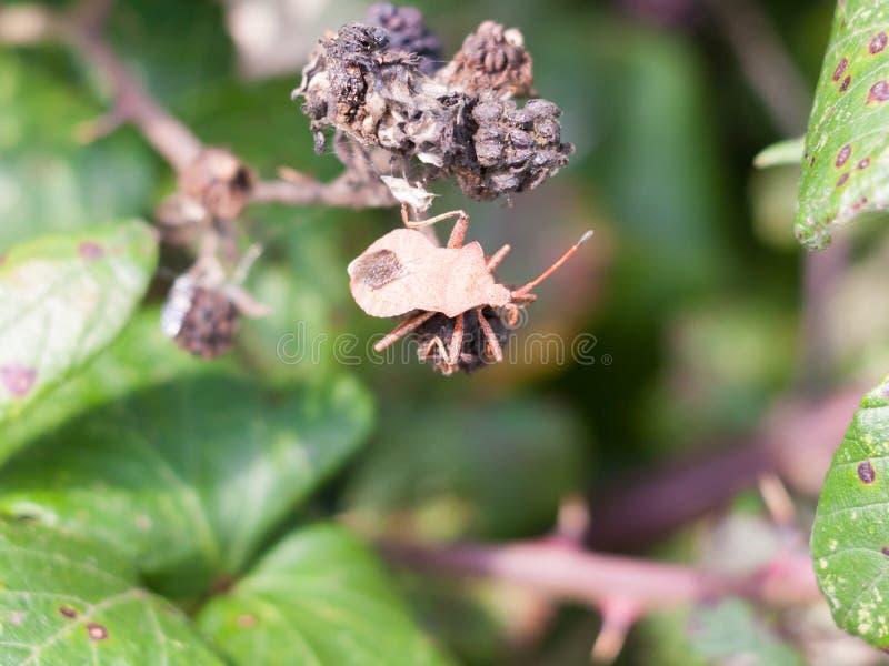 Grand insecte de dock sur des mûres en dehors de marginatus de Coreus images stock