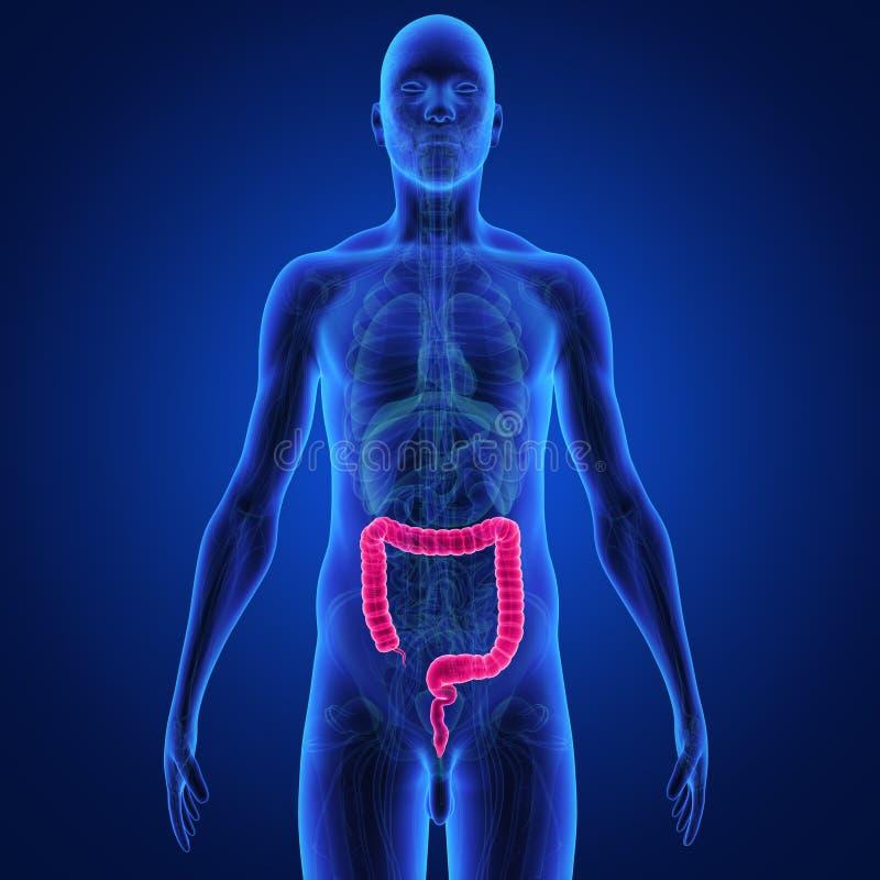 Grand intestin illustration stock