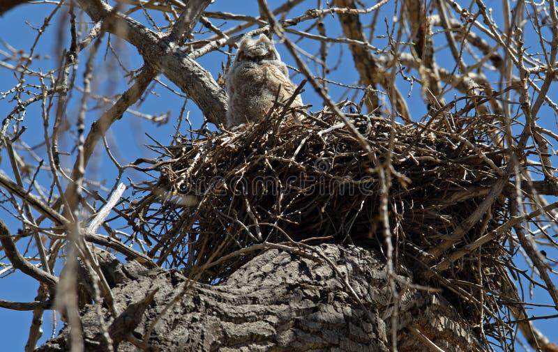 Grand jeune hibou à cornes dans le nid photo stock