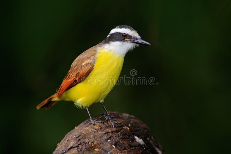 Grand kiskadee sulphuratus de pitangus oiseau de costa for Oiseau tete noire et blanche