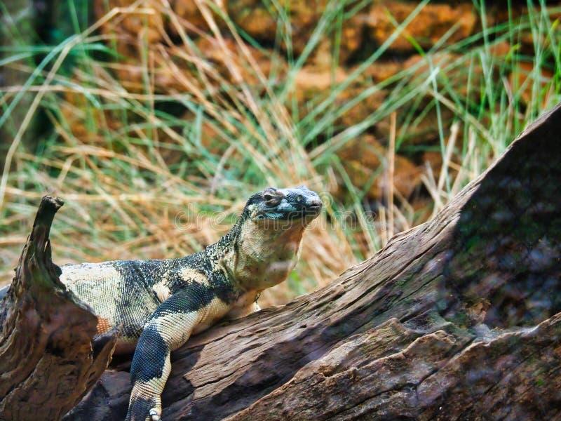 Grand lézard de moniteur de Goanna au parc australien occidental de faune images stock