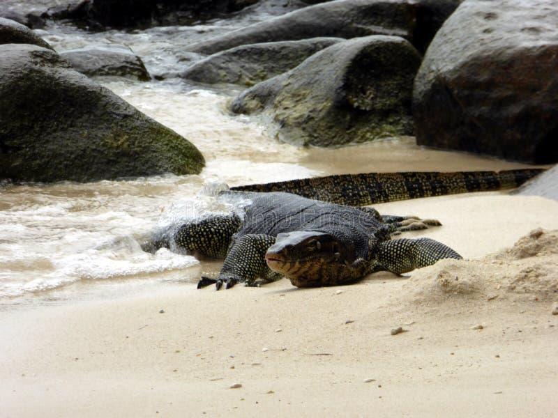 Grand lézard en île de Sapi photos libres de droits
