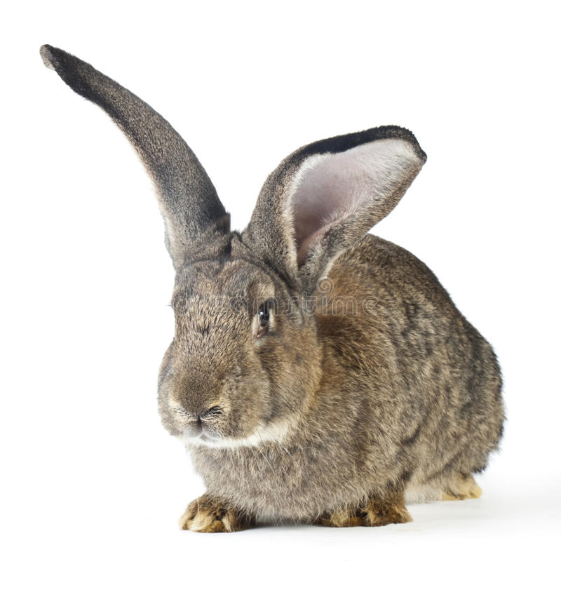Grand lapin images stock