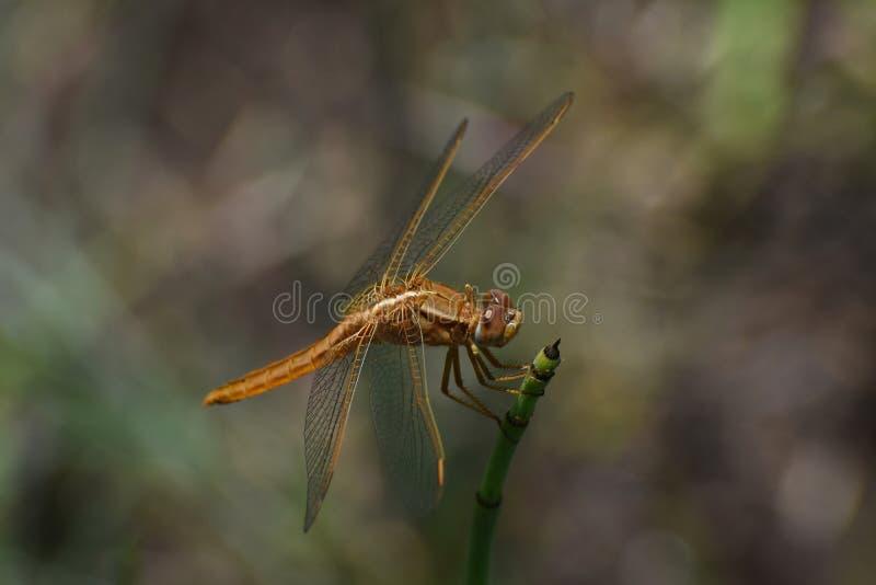 Grand large erythraea de Crocothemis de libellule d'écarlate sur l'herbe de queue de cheval image libre de droits