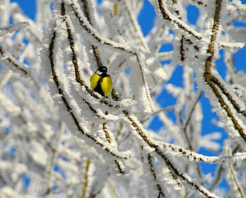 Grand lat de mésange Majoron de Parus sur une branche de bouleau, couverte de jour ensoleillé d'hiver blanc de gelée Dans le gel  image libre de droits
