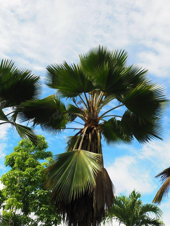 Grand Licuala Grandis a hérissé des palmiers de fan avec le ciel bleu au Surinam tropical Amérique du Sud image stock