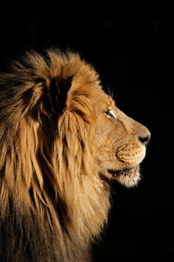 Grand lion africain mâle images stock