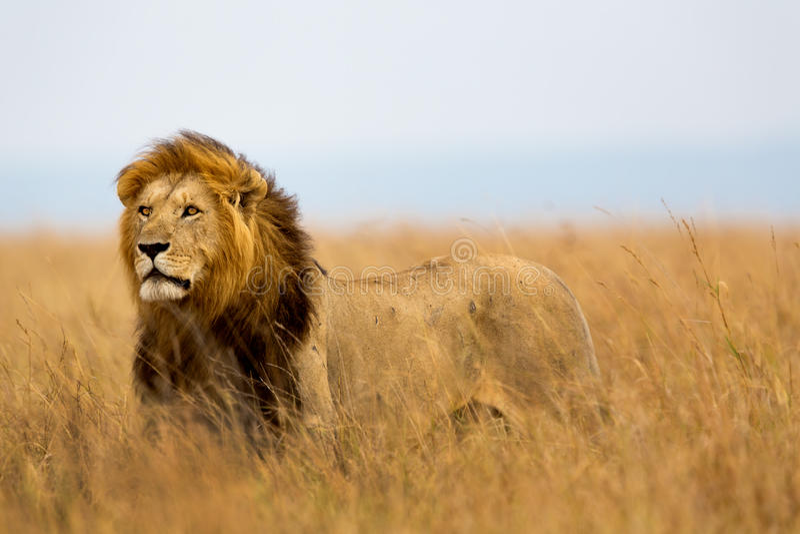 Grand Lion Caesar dans le masai Mara photographie stock