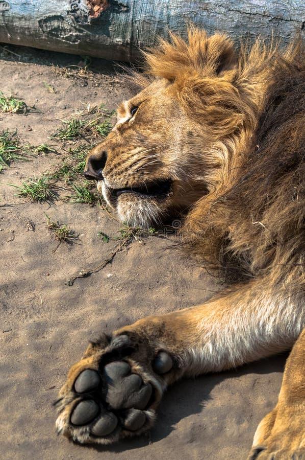 Grand lion se trouvant sur le sable avec sa patte exposée, au parc zoologique images stock