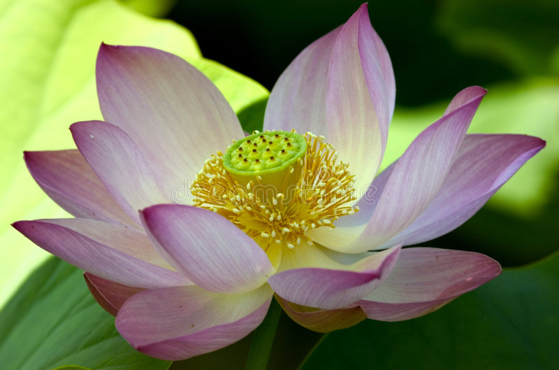 Grand lotus rose image libre de droits
