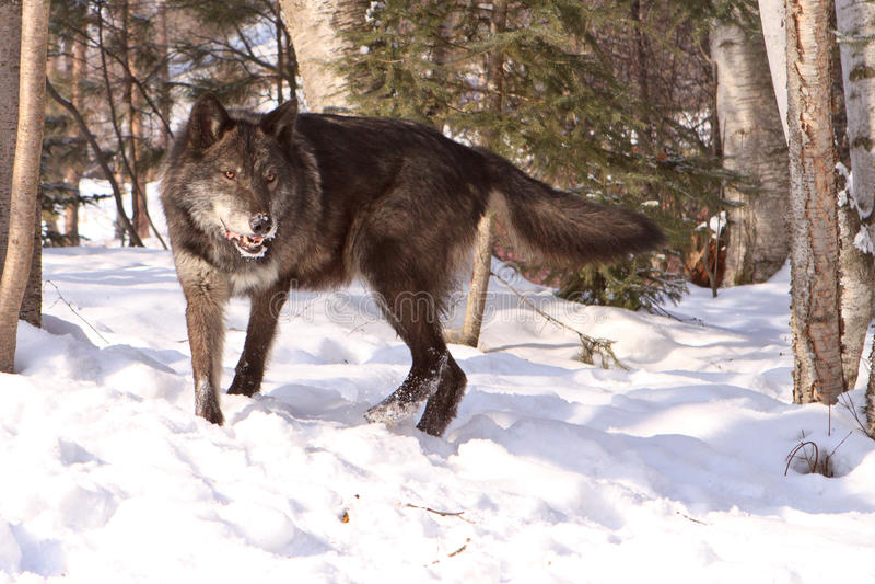 Grand loup de bois de construction noir dans la neige images stock