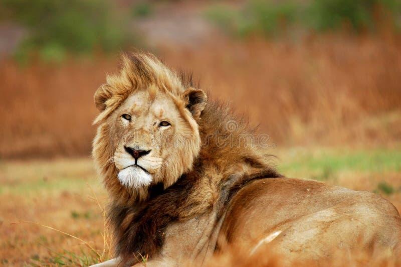 grand mâle africain de lion photos stock