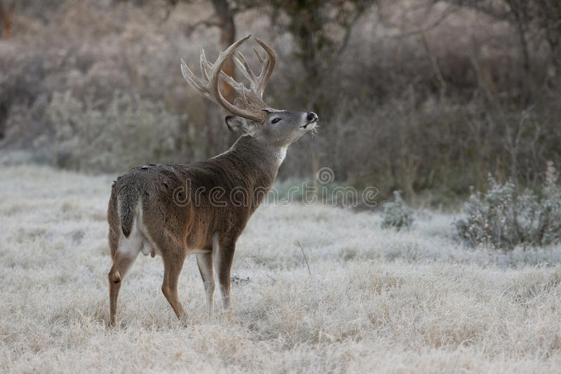 Grand mâle rayonné lourd de whitetail sentant l'air photos stock