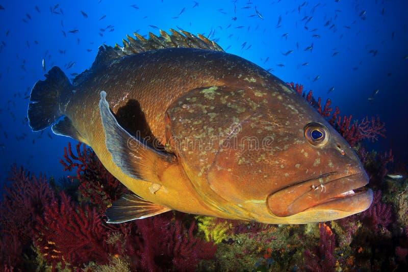 Grand mérou des îles de Medes image stock