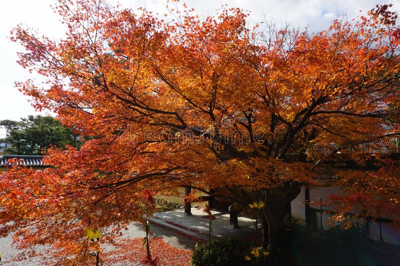 The Grand Maple Leaf at Kyoto royalty free stock photos