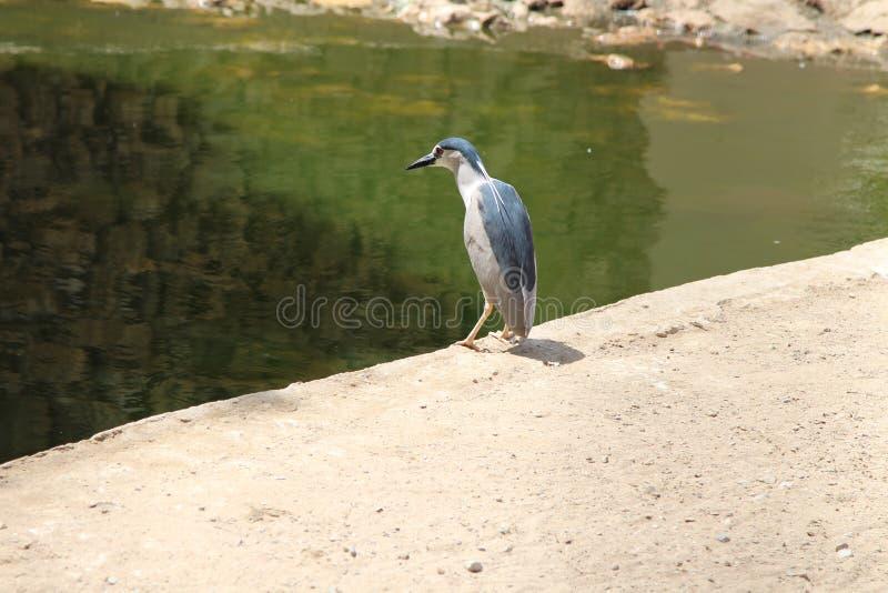 Grand martin-pêcheur au zoo de Karachi photographie stock libre de droits