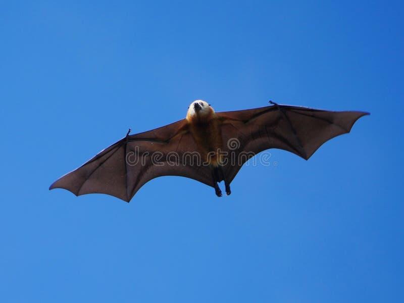 Grand Mascarene Flying Fox en vol en plein air dans le ciel bleu images libres de droits