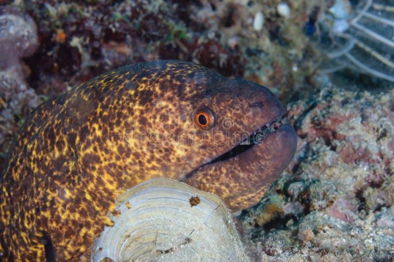 Grand Moray Eel image libre de droits