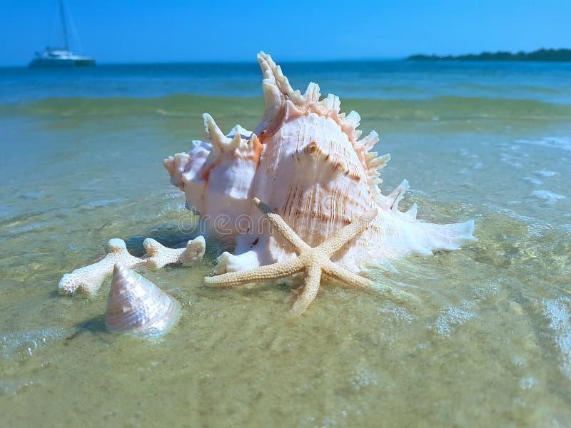 Grand Murex Shell sur la plage photos libres de droits