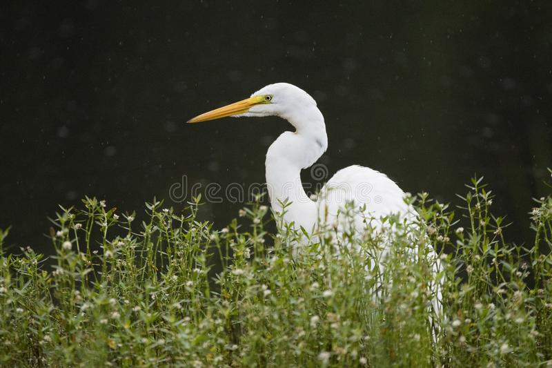 Grand oiseau blanc de héron, Walton County, la Géorgie Etats-Unis photos stock