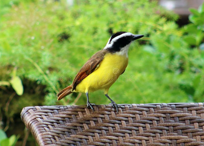 Grand oiseau de Costa Rican de jaune de Kiskadee photographie stock libre de droits