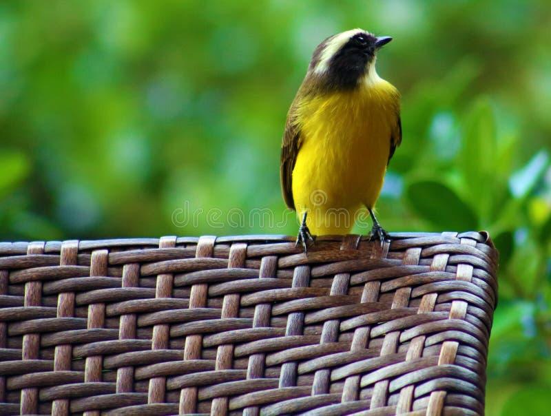 Grand oiseau de Costa Rican de jaune de Kiskadee image libre de droits