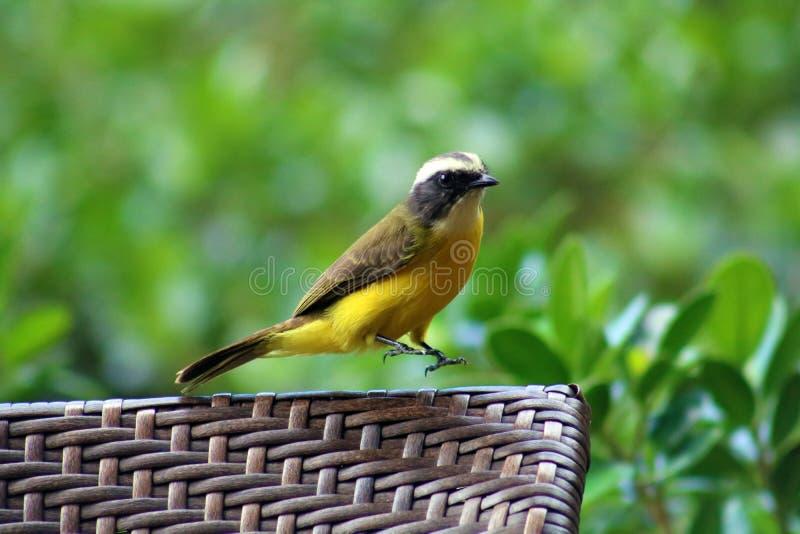 Grand oiseau de Costa Rican de jaune de Kiskadee photographie stock