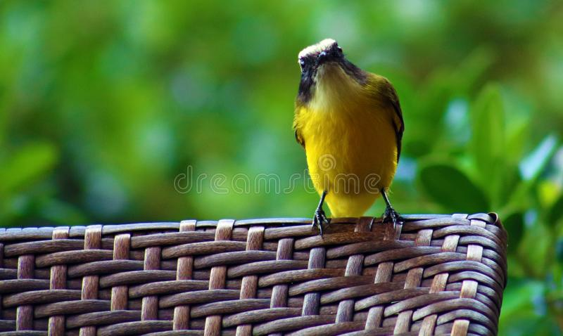 Grand oiseau de Costa Rican de jaune de Kiskadee images stock