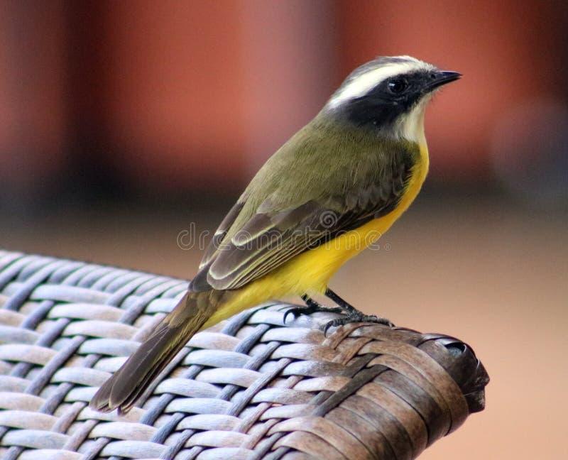 Grand oiseau de Costa Rican de jaune de Kiskadee photos stock