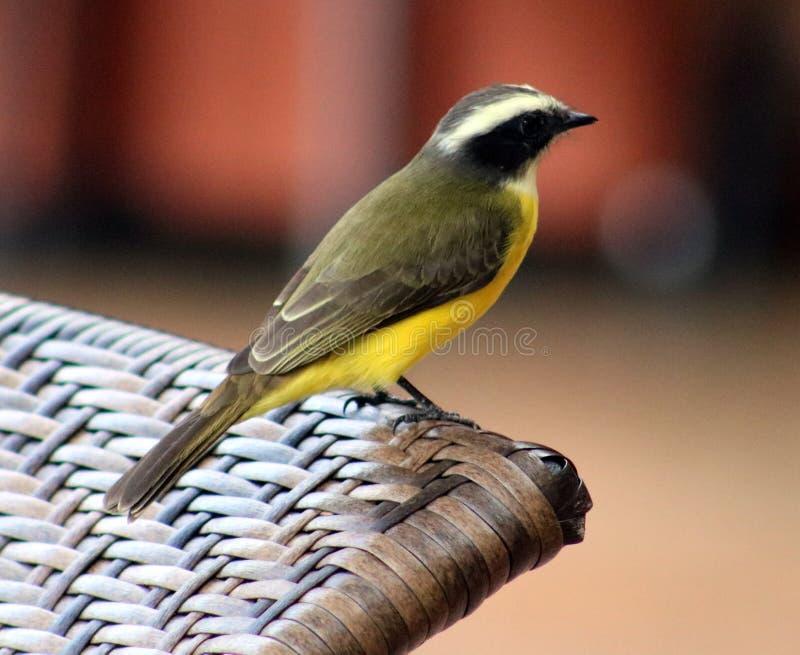 Grand oiseau de Costa Rican de jaune de Kiskadee image stock