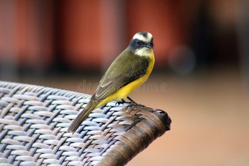 Grand oiseau de Costa Rican de jaune de Kiskadee images libres de droits