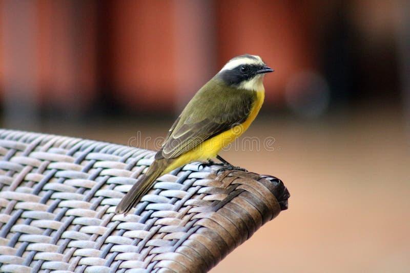 Grand oiseau de Costa Rican de jaune de Kiskadee photo stock
