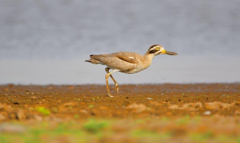 Grand oiseau de courlis cendré en pierre image stock