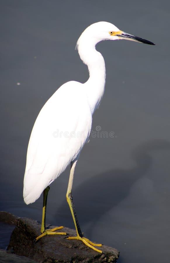 Grand oiseau de héron blanc à l'océan dans Los Cabos Mexique, belle créature majestueuse photo stock