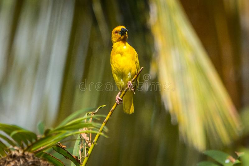Grand oiseau sauvage jaune sur Zanzibar tanzania photographie stock libre de droits
