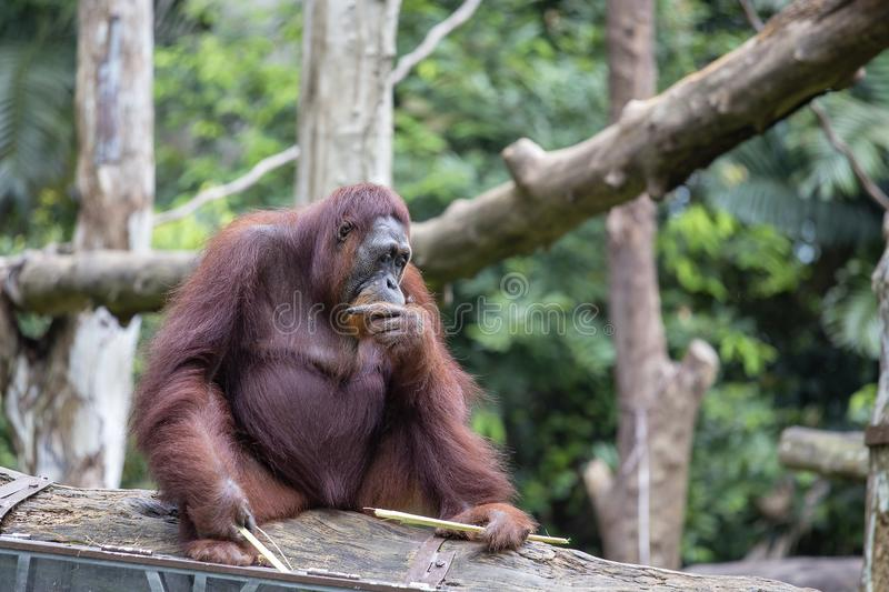 Grand orang-outan en nature photo libre de droits