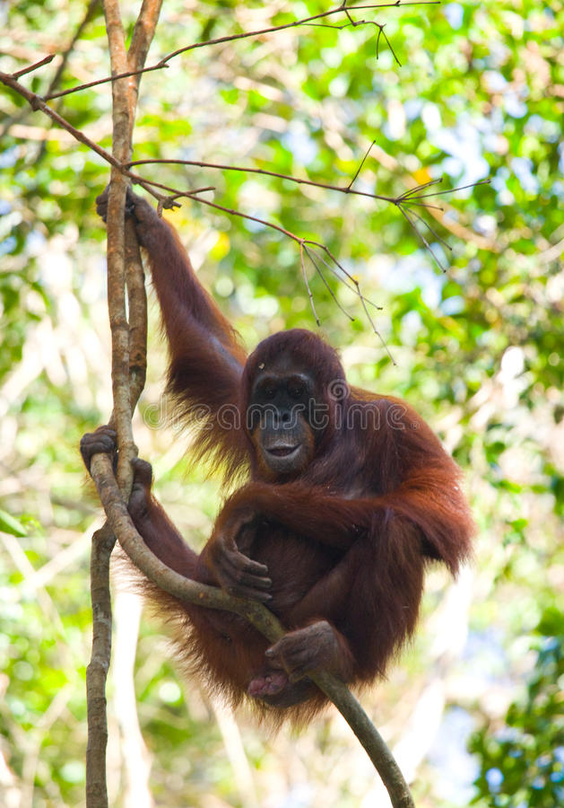 Grand orang-outan masculin sur un arbre dans le sauvage l'indonésie L'île de Kalimantan Bornéo images libres de droits