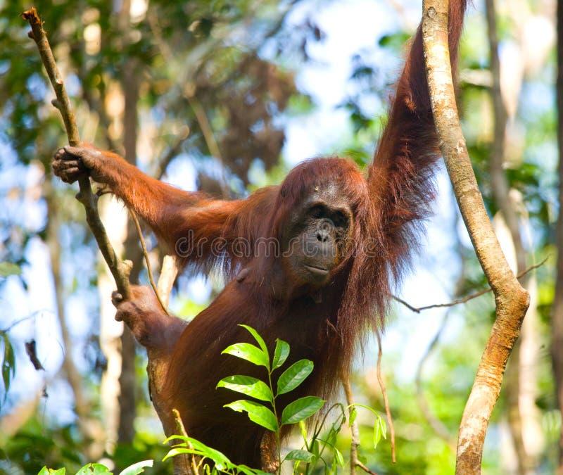 Grand orang-outan masculin sur un arbre dans le sauvage l'indonésie L'île de Kalimantan Bornéo photographie stock libre de droits