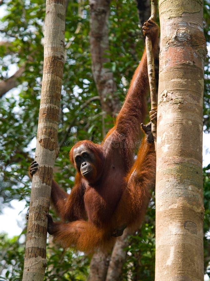 Grand orang-outan masculin sur un arbre dans le sauvage l'indonésie L'île de Kalimantan Bornéo image stock