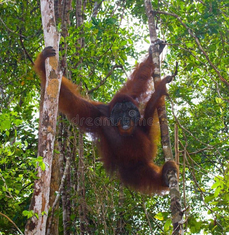 Grand orang-outan masculin sur un arbre dans le sauvage l'indonésie L'île de Kalimantan Bornéo photo stock