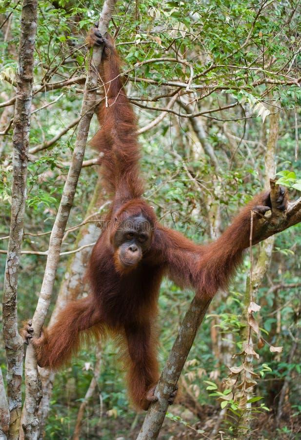 Grand orang-outan masculin sur un arbre dans le sauvage l'indonésie L'île de Kalimantan Bornéo photographie stock