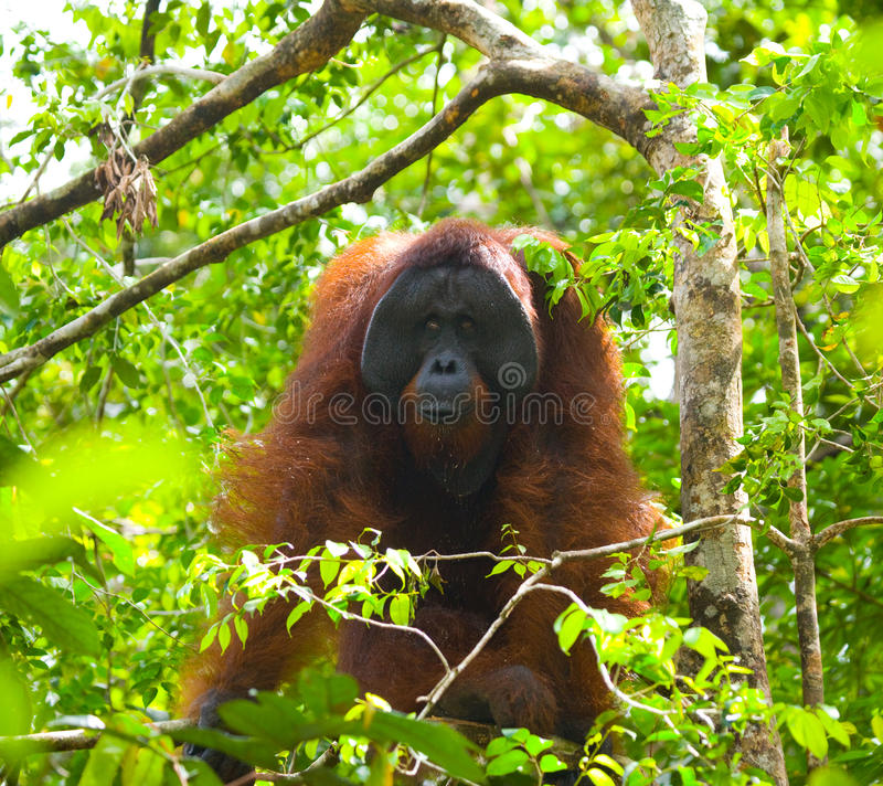 Grand orang-outan masculin sur un arbre dans le sauvage l'indonésie L'île de Kalimantan Bornéo photos libres de droits