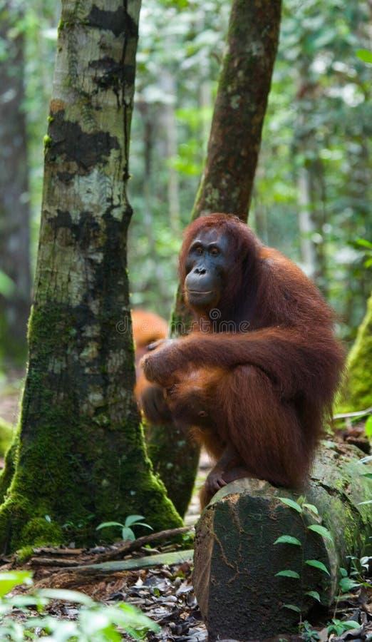 Grand orang-outan masculin sur un arbre dans le sauvage l'indonésie L'île de Kalimantan et de x28 ; Borneo& x29 ; photos stock