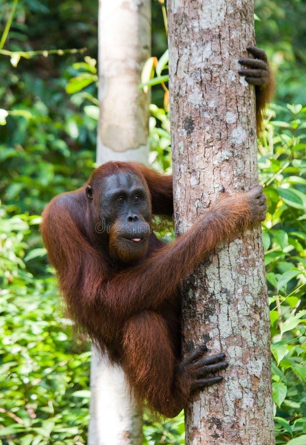 Grand orang-outan masculin sur un arbre dans le sauvage l'indonésie L'île de Kalimantan et de x28 ; Borneo& x29 ; photo libre de droits