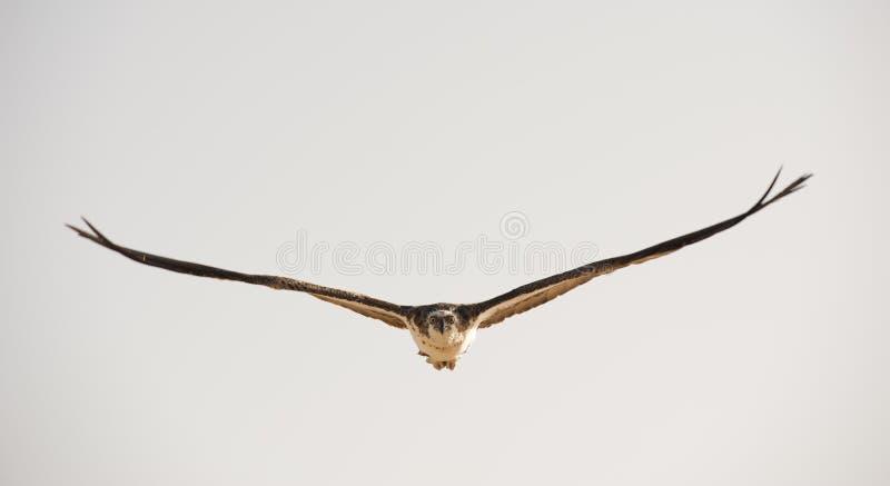 Grand Osprey en vol photos stock