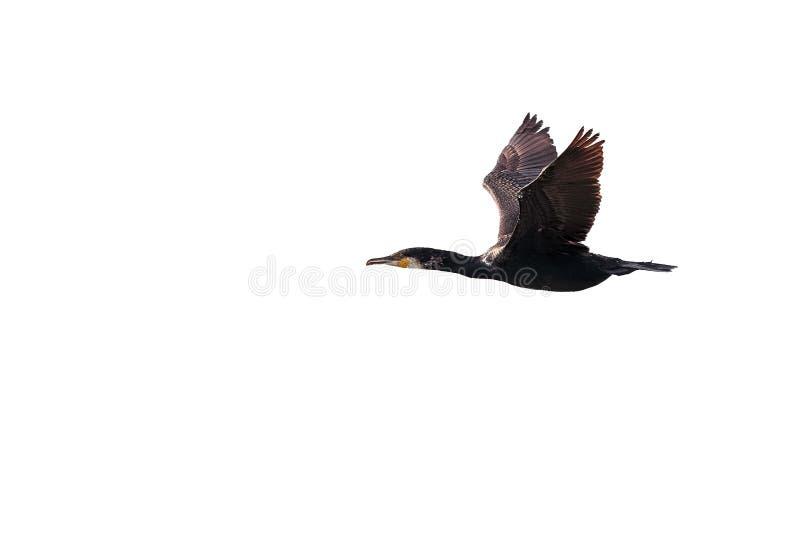 Grand, ou grand Cormorant noir adulte en vol contre le blanc images stock