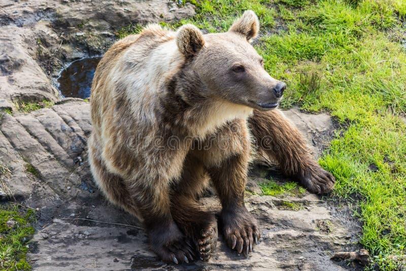 Download Grand Ours Brun (arctos D'Ursus) Image stock - Image du faune, puissant: 76083209