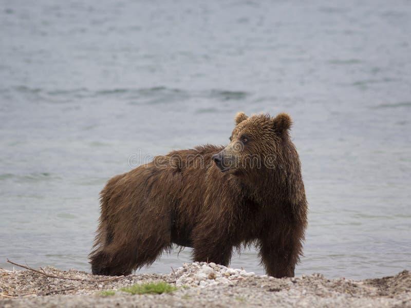 Grand ours brun près du lac Le Kamtchatka, Russie photographie stock